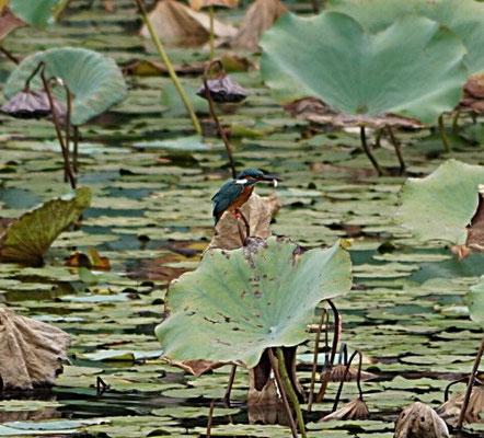 Überraschendes China 2014: Eisvogel mit Fisch auf einer Lotusblume im Teich in Guanlan