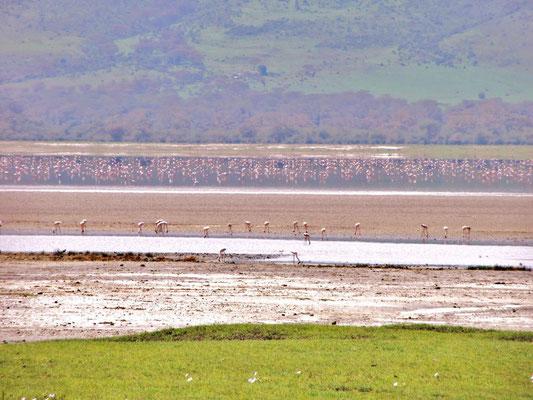 Einige der unsagbar zahlreichen Flamingos im Ngorongoro-Krater.