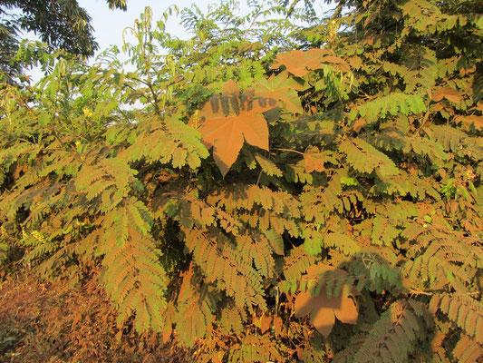Das ist nicht der Herbstanfang! In der jetzt beginnenden Trockenzeit sind die Straßen sehr staubig, so dass die Blätter der Pflanzen an den Straßen wie hier abgebildet aussehen.