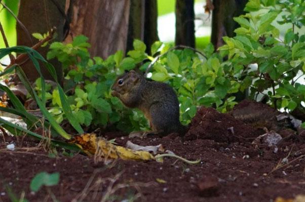 Ein afrikanisches Eichhörnchen direkt vor meiner Unterkunft auf dem Schulgelände.
