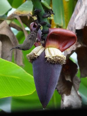 Foto aus dem Unterrichtsraum heraus: Ein Vogel nascht an einer Bananenblüte.