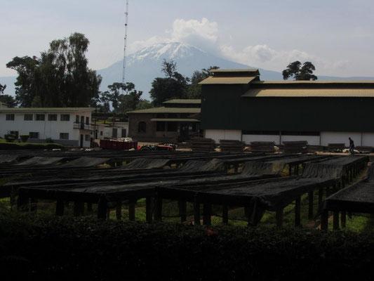 Die Tchibo-Kaffeefarm am Kilimandscharo.
