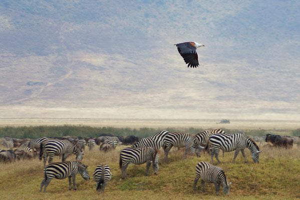Adler am Hippopool im Ngorongorokrater.