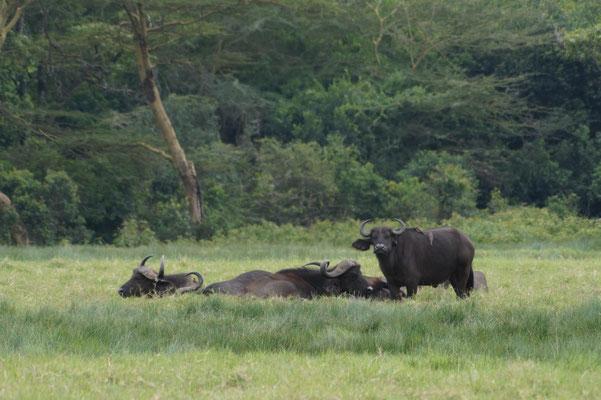 Kaffernbüffel im Arusha-Nationalpark.