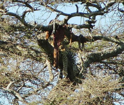 Ein anderer Leopard liegt mit den Resten seiner letzten Mahlzeit im Baum.