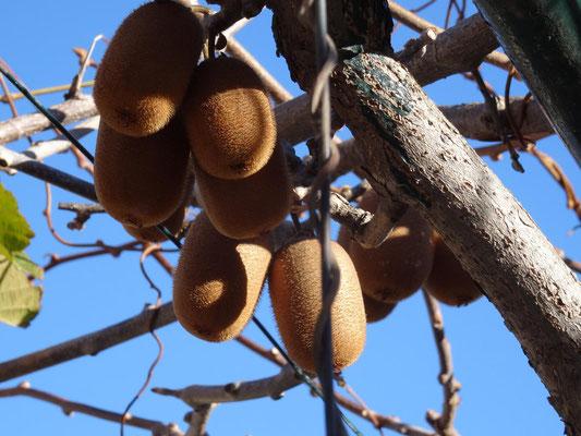 Kiwifrucht an der Pflanze in einem Schrebergarten.