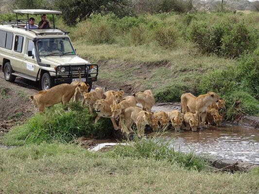 Ein Löwenrudel stillt seinen Durst an einem kleinen Bächlein in der Seronera-Region der Serengeti.