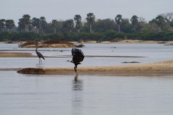 Safarifahrt auf dem Wasser: Ein Seeadler hat einen Fang gemacht.