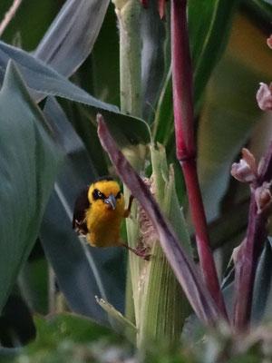 Farbenfroher Webervogel am Mais im Garten einer Freundin.