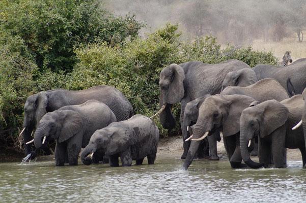 Elefanten beim Wellnessprogramm im Tarangirepark: erst das Wasserloch besuchen und dann ...
