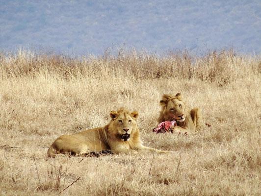 Ein Löwenmännchen geniest sein Frühstück im Ngorongorokrater.