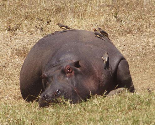 Ein Flusspferd läßt sich durch Madenhacker von Parasiten befreien.