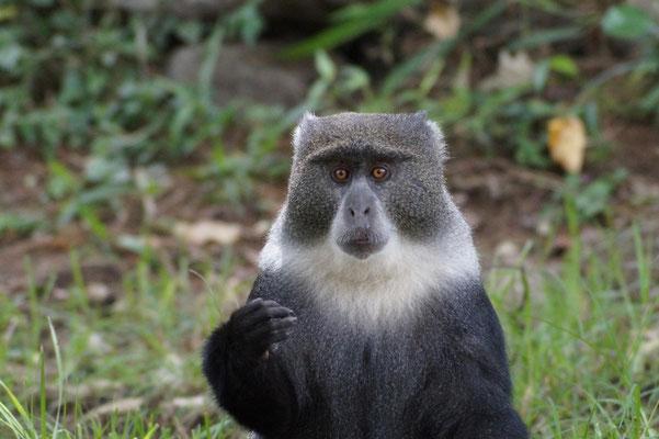 Ein Affe wartet am Picknickplatz Momellagate geduldig darauf, dass er die Reste essen kann.