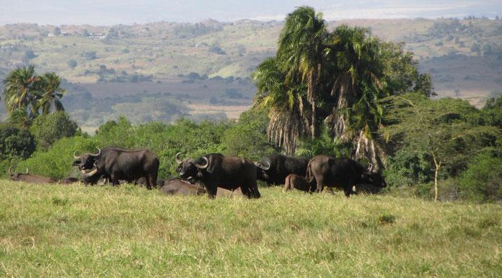 Wasserbüffel bei der Walking-Safari im Arusha-Nationalpark.