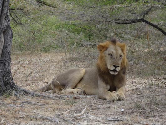 Stolzes Lowenmännchen, kurz vor dem Akt zur Produktion neuer Löwenkinder. Klicken auf das Bild startet einen Film.
