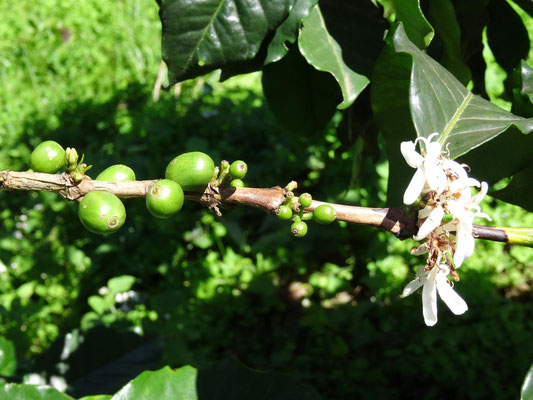 Eine verwirrte Kaffeepflanze blüht noch einmal während sie bereits Kaffeebohnen trägt.