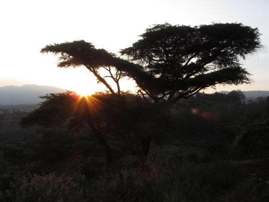 Schirmakazie bei Karatu im Sonnenuntergang.