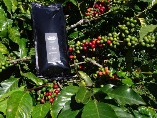 Ausgangs- und Endprodukt der Kaffeeplantage. Die Ernte wird gut. Ich habe in den letzten Jahren noch nie so viele Kaffeebohnen an den Büschen hängen gesehen!
