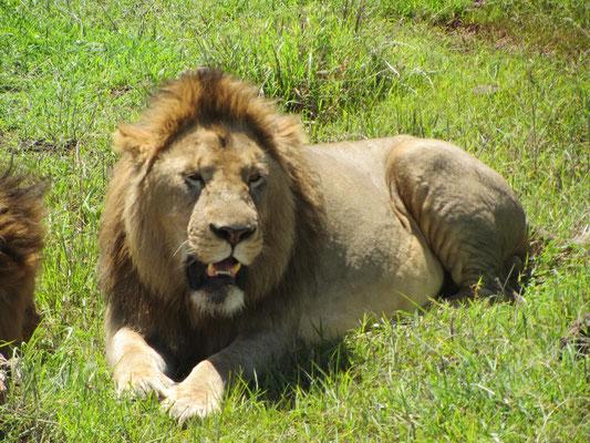 Eins von vier Löwenmännchen ruht direkt neben der Straße im Ngorongoro-Krater.