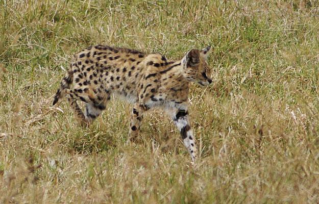 Serval auf Jagd im Gras des Ngorongorokraters.