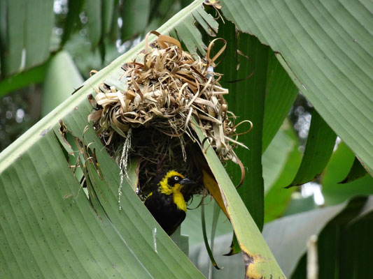 ... sind die Webervögel bereits kräftig mit Brutpflege beschäftigt.