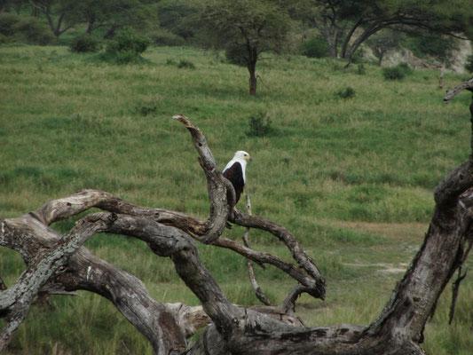 Ein Adler im Tarangire- Nationalpark.