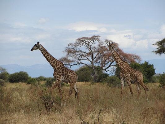 Bilder meiner Safari in drei Nationalparks von Tansania: Giraffen im Tarangire Nationalpark.