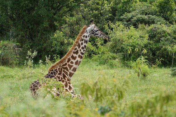 Selten legen sich Giraffen auf den Boden. Dafür müssen sie sich sehr sicher fühlen.