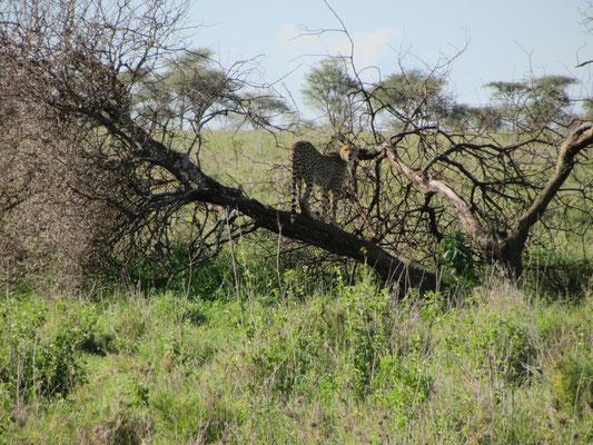 Ein Gepard auf dem Aussichtsstand bei der Suche nach Beute.