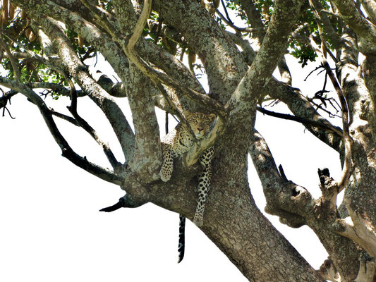 Baum-Leopard im Serengeti-Nationalpark.