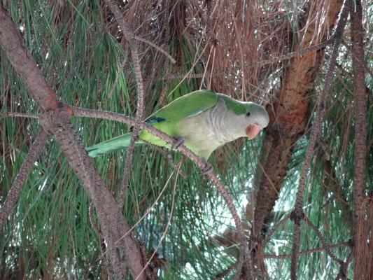 Überall in Barcelona präsent: die Papageien.