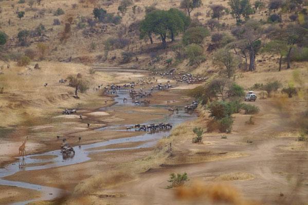 Zur Mittagszeit sammeln sich die Tiere mitunter in großer Anzahl am Tarafluss.