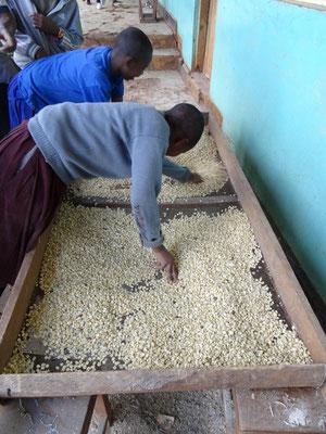Reinigen der Maiskoerner vor der Einlagerung.