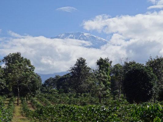 Beim sonntaeglichen Morgenspaziergang durch die Kaffeeplantagen habe ich IHN bei dieser Reise zum ersten Mal gesehen! Er war sonst immer in den Wolken.