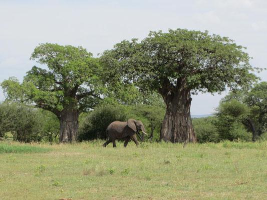 Die im Juli knorrig aussehenden, laubfreien Baobabbäume können auch Blätter haben - hier der Beweis!