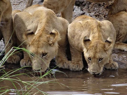 Löwen beim trinken.