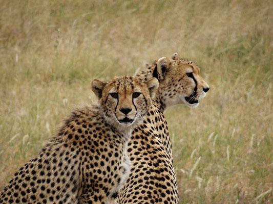 Eine Gepardin und ihr fast erwachsenes Kind spähen nach Beute.