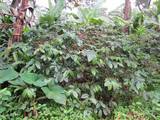 Mein morgentliches Lieblingsgetränk: Kaffee von den Berghängen des Kilimandscharu.