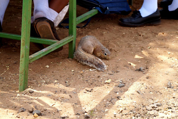 Ein afrikanisches Eichhörnchen hat seine Scheu vor den Menschen fast vollständig verloren und sucht zwischen den Beinen der Schüler nach Essensresten.