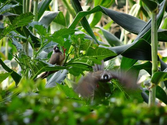 Abflug eines Vogels. Der andere hält sich einen Teil der Pflanze fressgerecht.