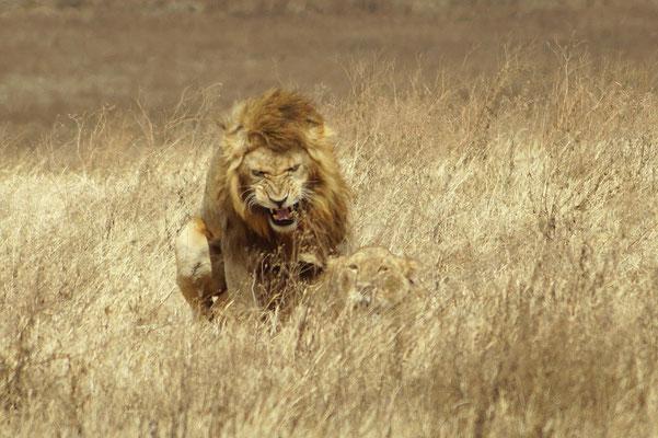 Ngorongorokrater: So werden Löwenbabies gemacht :-)  .