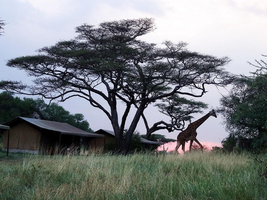 Besuch im Serengeti-Camp: ein Giraffenbulle sucht sein Adendessen.