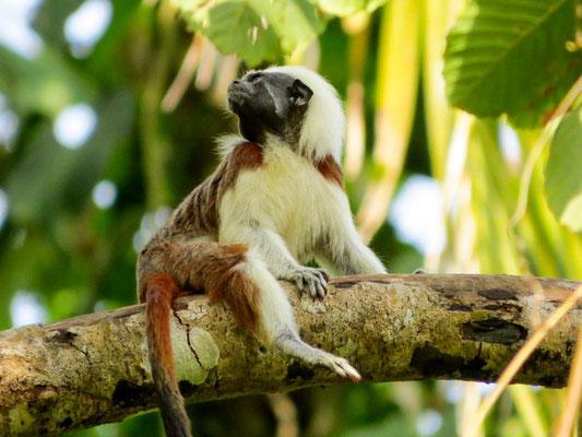 Mico Tito heißen diese Affen