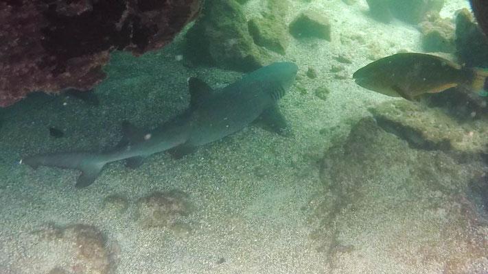 Riffhaie ganz nah