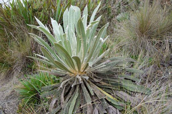 Sie wächst nur 1cm im Jahr, speichert viel Wasser und ist sehr wichtig für das Ökosystem hier