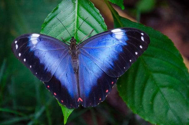 Endlich ist mir ein Photo gelungen (Morpho Azul ca.10cm groß)