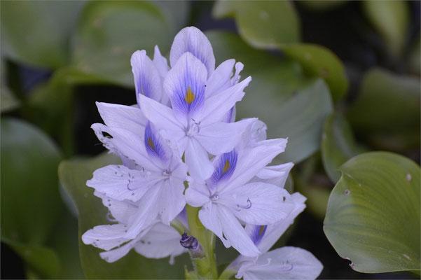 Blüte einer Wasserhyazinthe