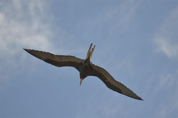 Fregatt-Vogel