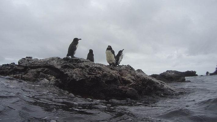 Galapagospinguine