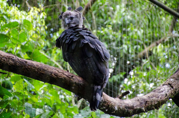 Harpyie gehört zu den vom Aussterben bedrohten Tieren